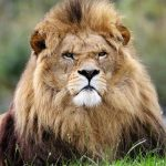leadership lion
